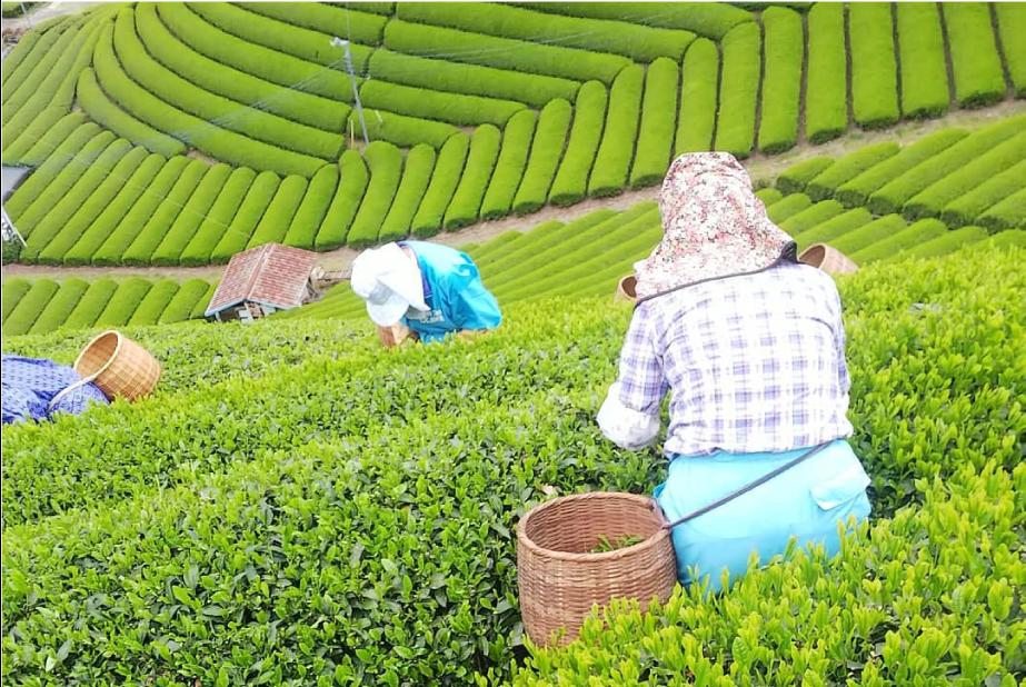 静岡 本山茶 「森内茶農園」